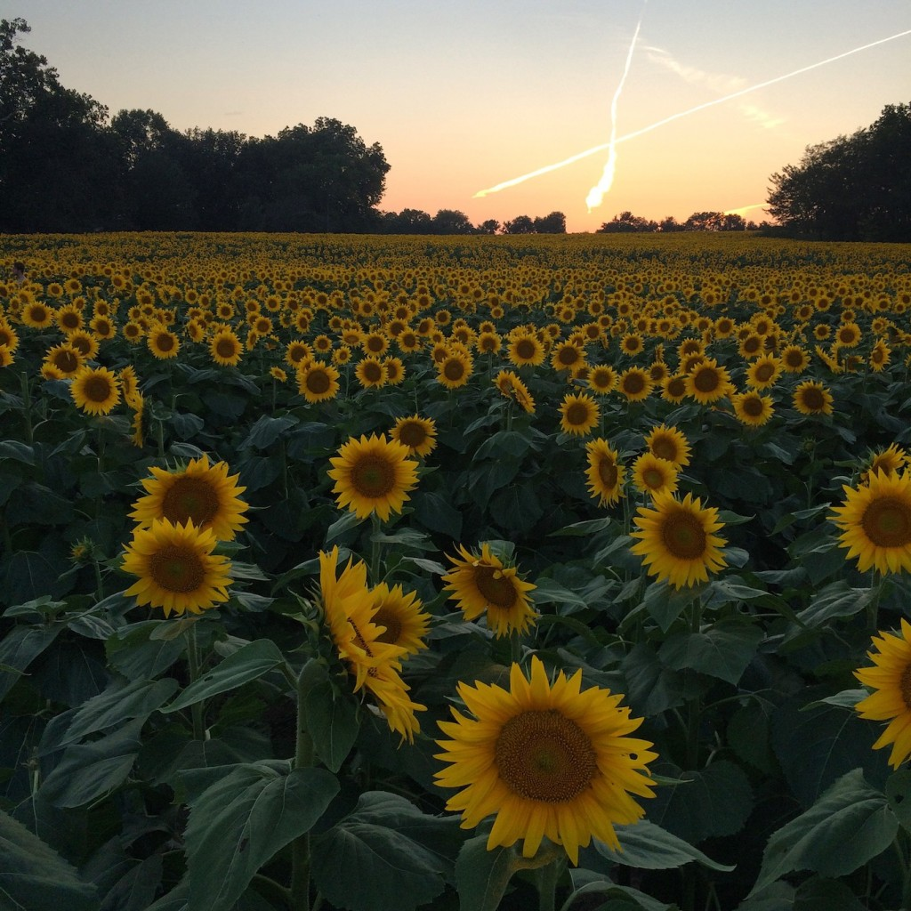 Gritner Farm Sunflowers