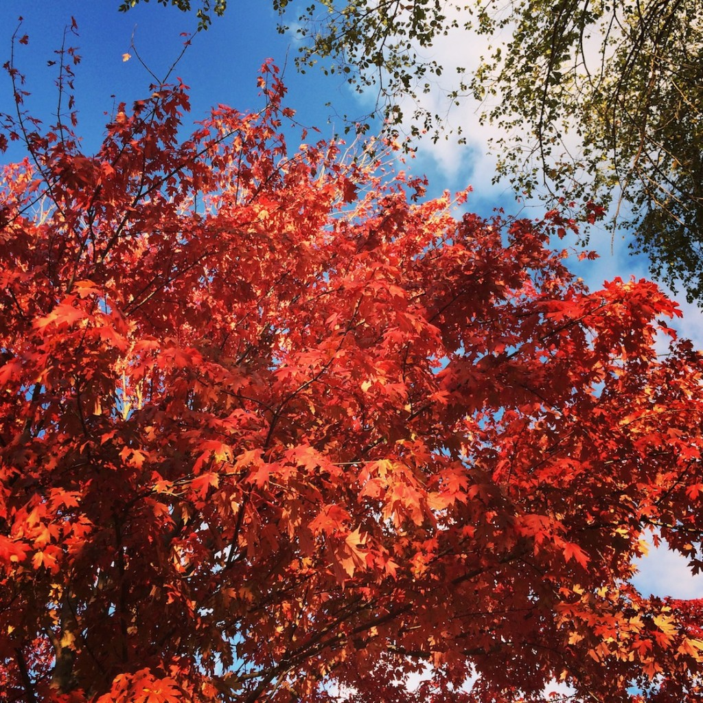wild things october maple