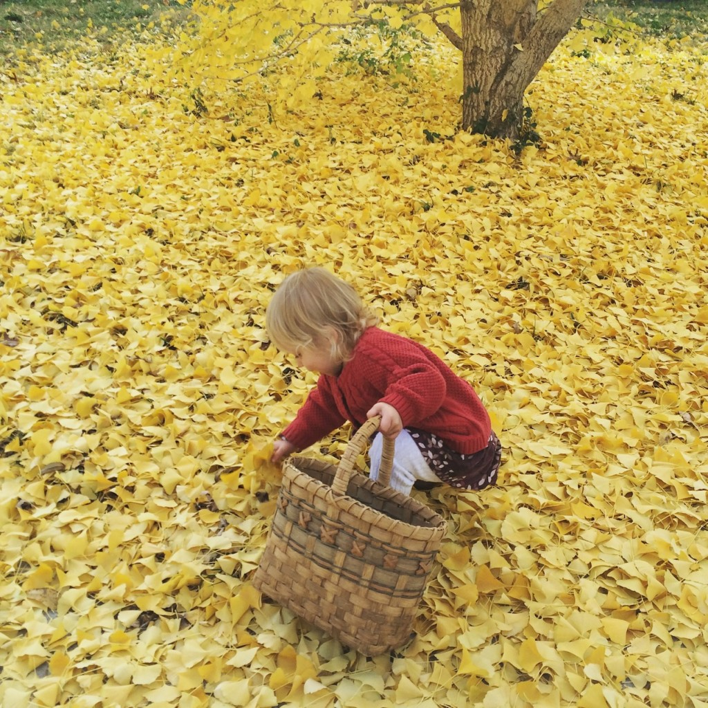 …and they all fall down - ginko leaves