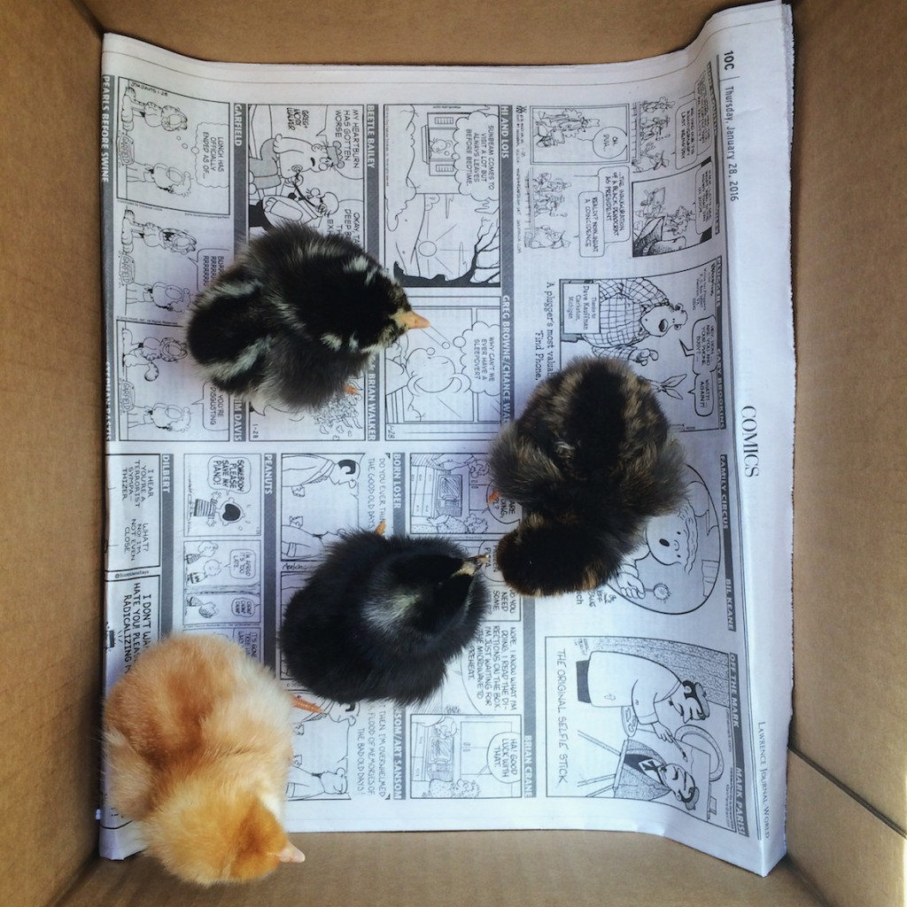 our newest chick family members