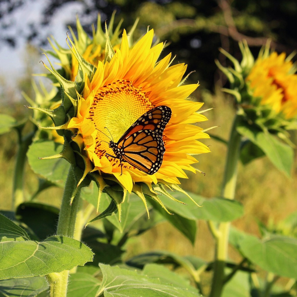 September Sunflower and Monarch Butterfly